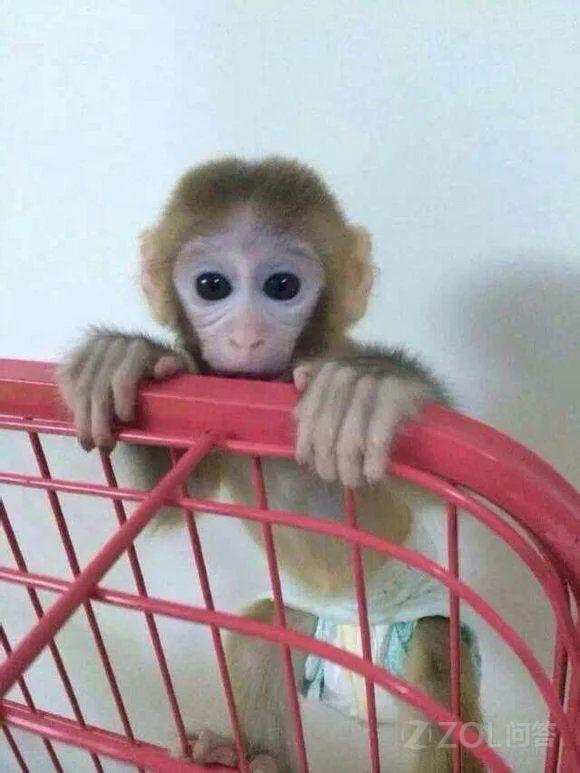 族深深的爱上可爱的小猴子